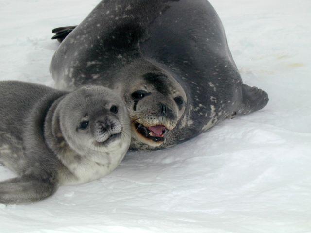 Seal115